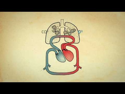 Herz Kreislauf System