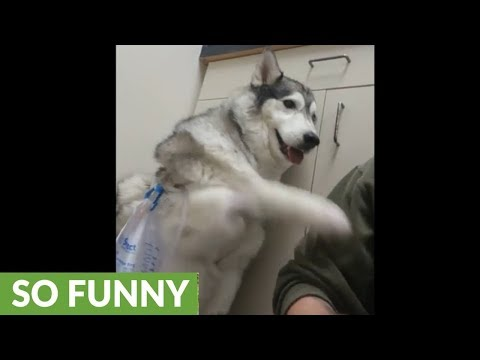 Husky fighting kidney infection demands attention
