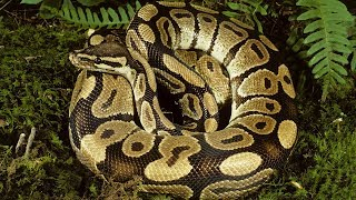 23-foot python swallows woman whole as she gardens