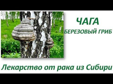 Березовый гриб чага: польза и вред, применение, фото