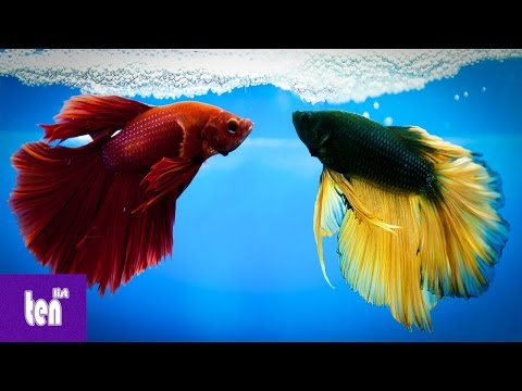 10  Amazing Cool Facts about Betta Fish Ever