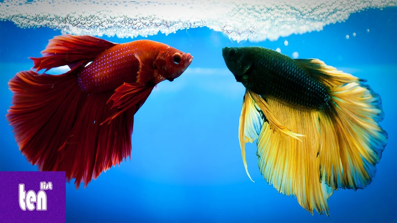 10 Amazing Cool Facts about Betta Fish Ever - YouTube