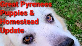 Great Pyrenees Puppies &  Homestead Updat