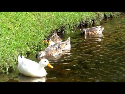 Domestic Duck Napping with Mallard Ducks in Palmetto Dunes