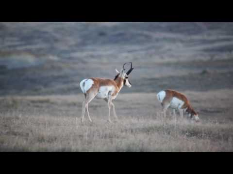 Hunting Colorado Pronghorn