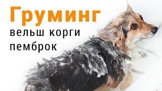 Как помыть овчарку  вельш корги пемброк: помывка, сушка и оформление лап собаки.