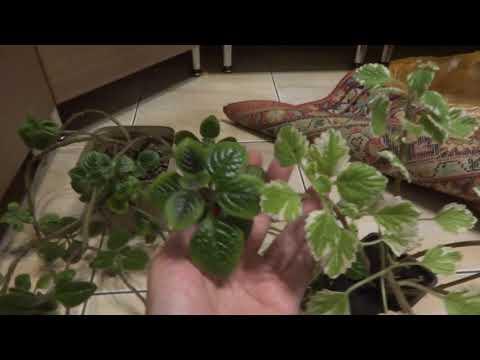 Комнатные цветы/растения. Новички из уценки. Плектрантус, пилея, кливия, куркума.