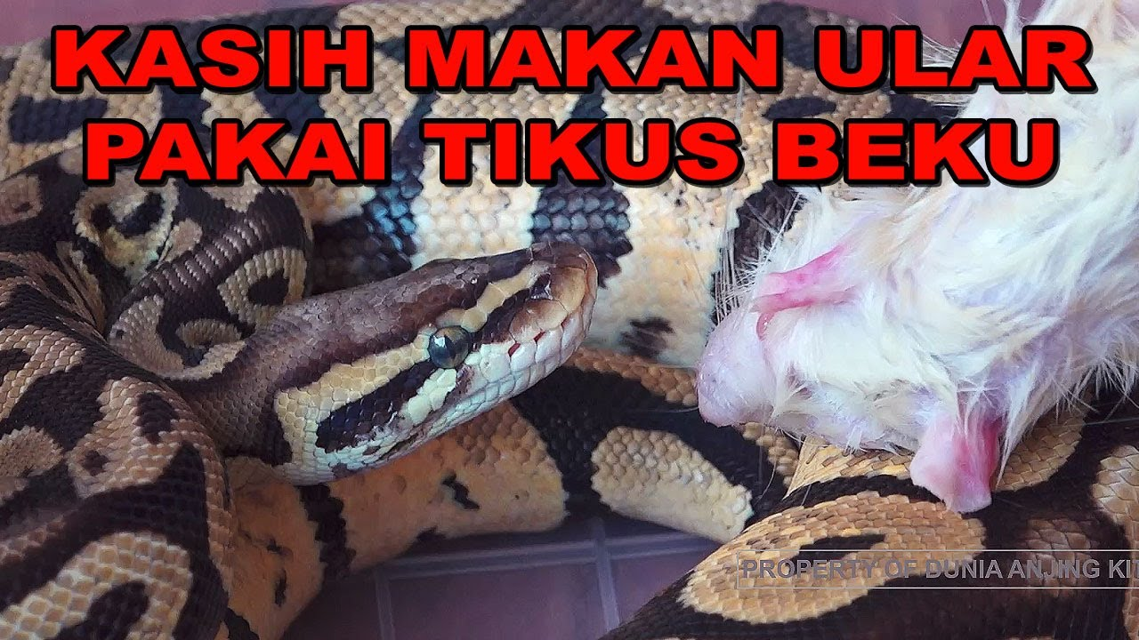 KASIH MAKAN ULAR PAKAI TIKUS BEKU - FEED THE SNAKE WITH FROZEN MOUSE
