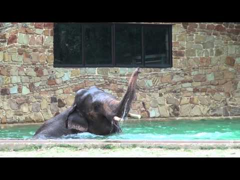 Fort Worth Zoo's Elephant Goes for a Swim