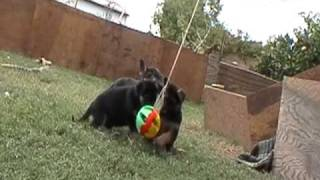 German Shepherd Puppies Playing With Toys