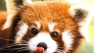 China. Red panda