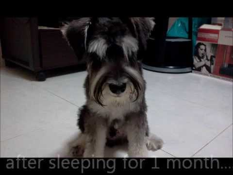 Skippy Or Sleepy Dog With The Name Of Kiki Salt And Pepper Schnauzer
