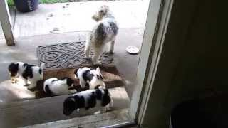 Bonnie's puppies join Nellie's for the first experience with the ou...
