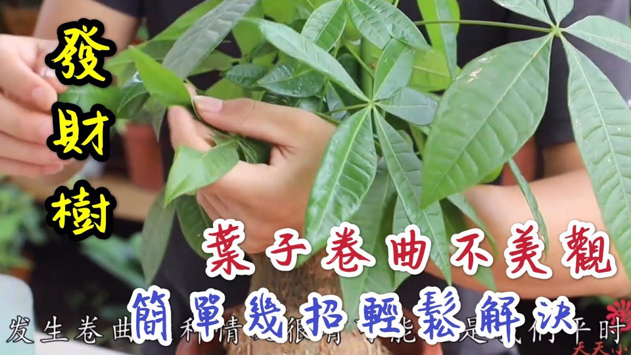 【天天小花農】發財樹,葉子出現卷曲不美觀,教你簡單幾招輕鬆解決