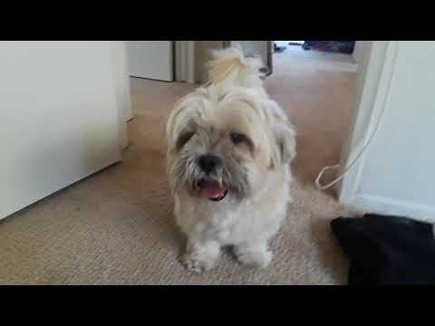 My Lhasa Apso going nuts