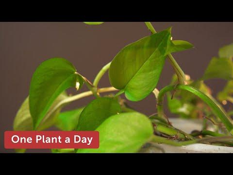 11 of 365. Epipremnum aureum (Devil's Ivy / Pothos) Houseplant Care