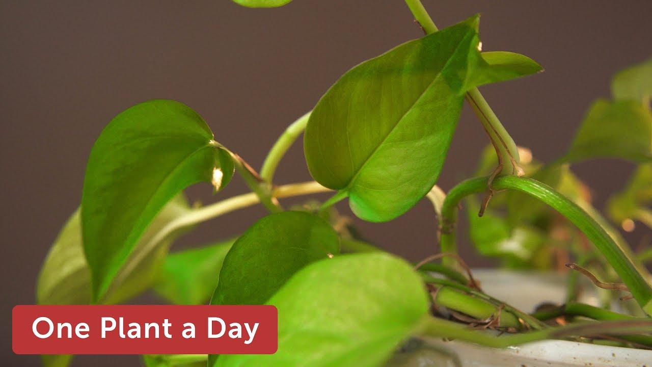 Epipremnum Aureum Devil S Ivy Pothos Houseplant Care 11 Of 365 Youtube