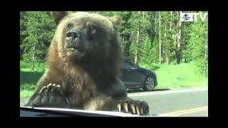 Oso pardo intenta subir a un auto en el parque de Yellowstone