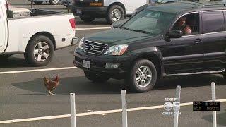 Fowl Play: Chicken Halts Traffic At Bay Bridge Toll Plaza