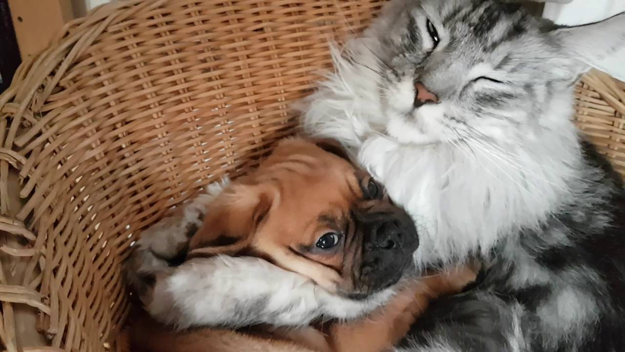 Cutest Pug Puppy Being Cuddled By Adult Maine Coon Warning