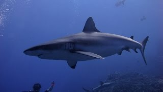Diving Osprey & Great Barrier Reef 2014 - Shark Feeding Frenzy, Manta Ray, Olive Sea Snakes...