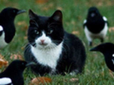 Cat Meets Magpies