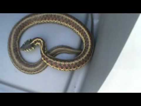 Garter Snake Bites Youtube