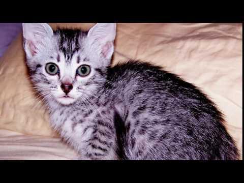 Порода кошек. Египетский мау. Необыкновенная кошка.