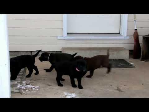 Labrador Retriever Puppis For Sale Loretta Zimmerman