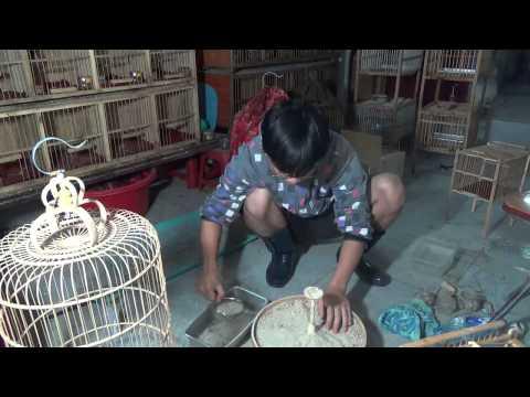 Cách nuôi chim Sơn ca vệ sinh lồng, chân chim Sơn ca