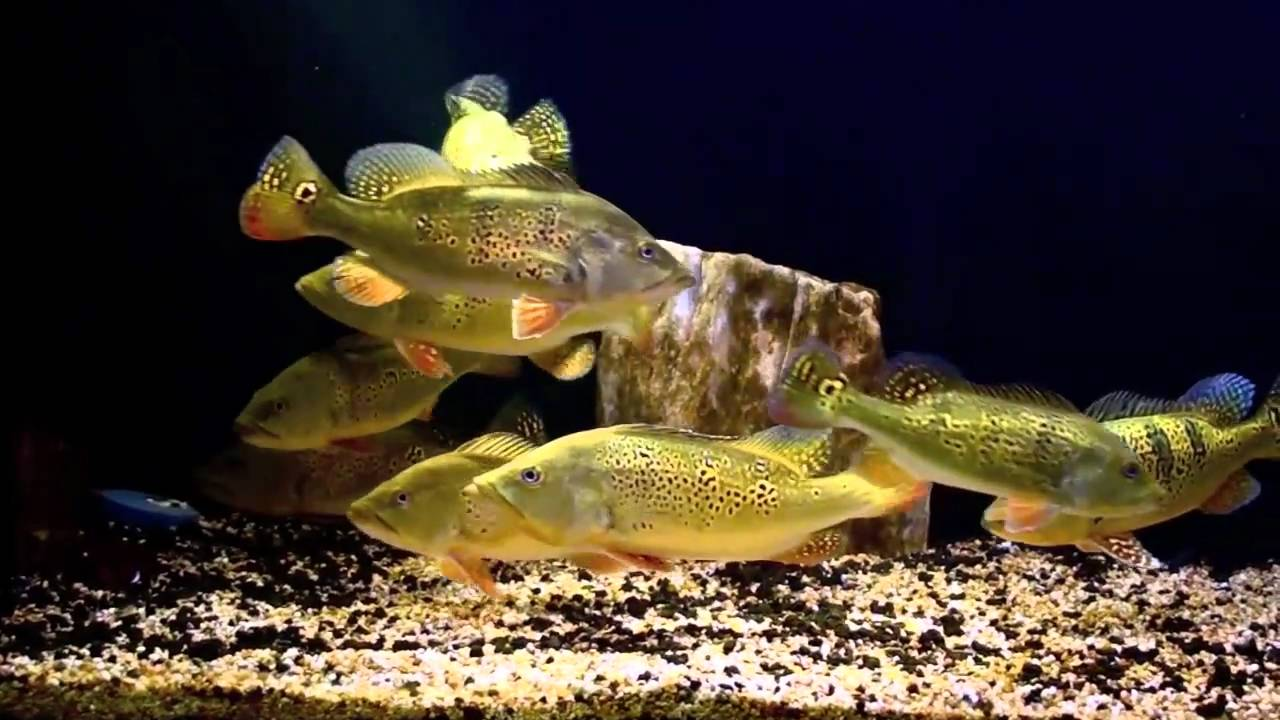 Sidokter Peacock Bass ...