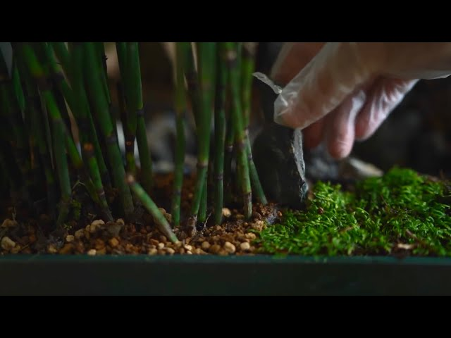Making a Bamboo Forest 竹林を作る #Shorts