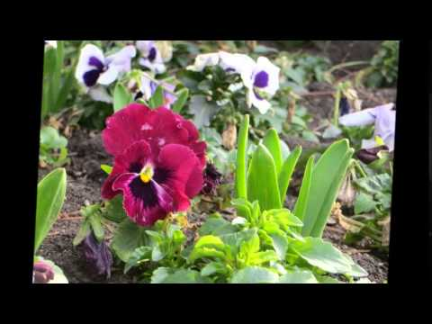 Радуга в вашем саду цветы анютины глазки. Украшение вашей дачи цветы анютины глазки