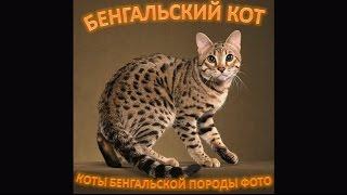 Бенгальские коты, прелесть!