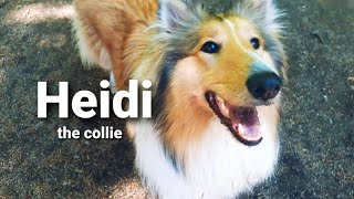 Our friend HEIDI the collie | 2 years