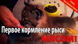 Первое кормление котенка рыси мясом