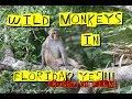 Wild Monkeys in Florida Beside The Road!!!