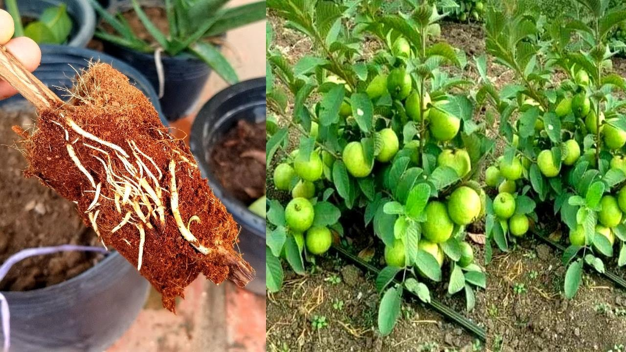 Growing Guava From Cloning Mother's Plant