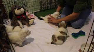 Coton Puppies For Sale - 2/4/20