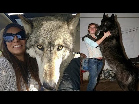 Wolfdogs! Why are they better than domestic dogs?