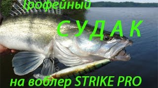 Судак. Рыбалка на судака Трофейный судак Лен. область ( Trophy Walleye).