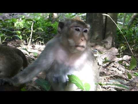 Why gangster monkey force poor female monkey like this? Pity a female monkey force by big monkey