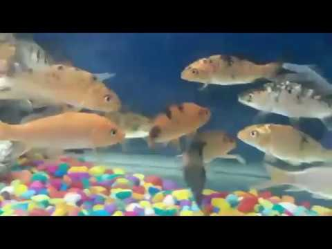 Koi Carp Fish In India : All Basic Information, Care, Food, Fish Farming