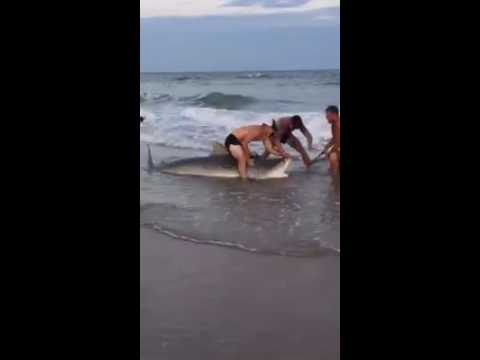 Tiger Shark Caught And Released On Topsail Beach