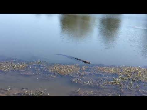 Natchitoches LA.Golf Course Gator Watch your Balls!
