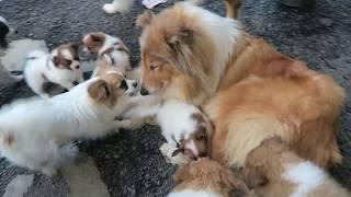 ラフコリーとパピヨンの子犬たちを遊ばせているのはきな子お婆ちゃんで...