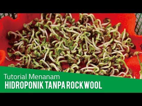 Cara Menanam Kangkung Hidroponik Tanpa Rockwool