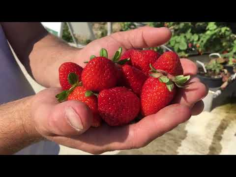 Vertical Farming   Organic Strawberry Update