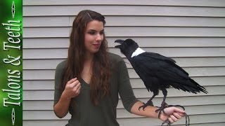 Ravens can talk! thumbnail
