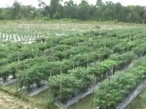 Sekolah Tinggi Ilmu Pertanian Graha Karya Muara Bulian Jambi Cabe